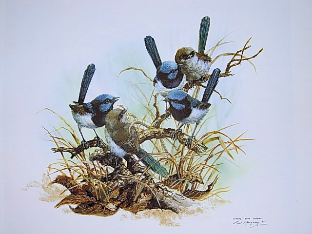 Superb Blue Wrens - $80