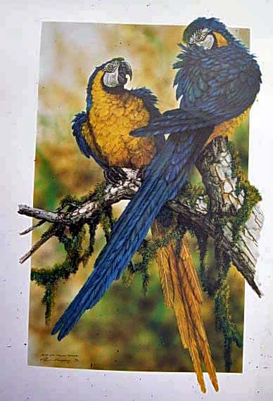 Blue & Yellow Macaws$80